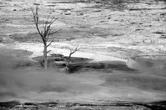 Dead tree at mammoth hot springs royalty free stock photography
