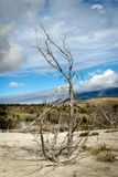 Dead Tree at Mammoth Hot Springs Stock Image