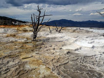Dead tree in Mammoth Hot Springs in Yellowstone National Park Royalty Free Stock Image