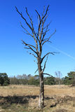 Dead tree in meadow. With grass and blue sky royalty free stock image