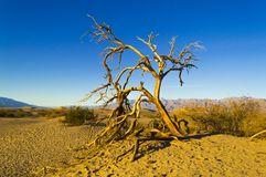 Dead Tree on Mesquite Flat Dunes Death Valley Stock Images