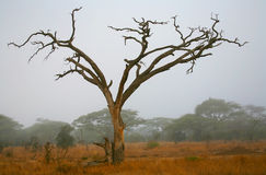 Dead tree and misty landscape Stock Image