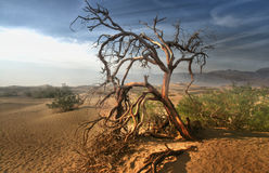 Dead tree in the Mojave desert - Death Valley California.  Royalty Free Stock Images