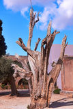 Dead tree in monastery Arkadi Royalty Free Stock Photography