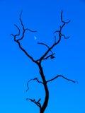 Dead Tree and Moon Royalty Free Stock Photos