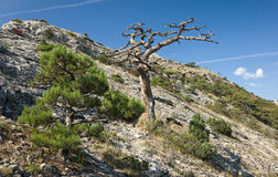 Dead tree in mountains stock image