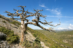 Dead tree in mountains Royalty Free Stock Photo