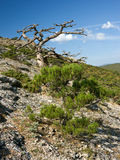 Dead tree in mountains Royalty Free Stock Images