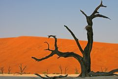 Dead tree in Namib. A dead tree at sunrise in the Namib desert Stock Images