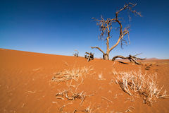 Dead tree in the Namib Royalty Free Stock Image
