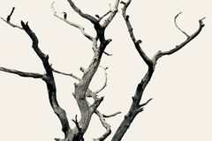 Dead tree with no background. royalty free stock photography