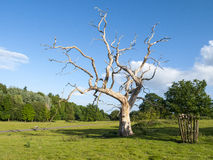 Dead tree. Dead oak tree in field Royalty Free Stock Photo