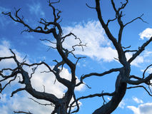 Dead tree. Dead oak tree isolated against deep blue sky Royalty Free Stock Photo