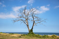 Dead tree at ocean front with horizon background Stock Photo