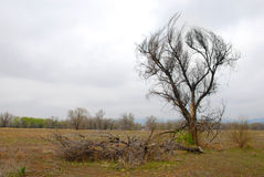 Dead Tree in Open Space Stock Image
