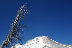 Dead Tree over Mount Hood Royalty Free Stock Photography
