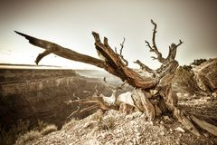 A dead tree overlooking the Grand Canyon. National Park in Arizona royalty free stock image