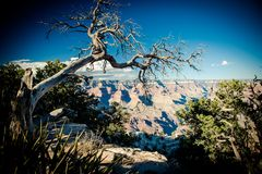 Dead tree overlooks The Grand Canyon. A dead tree hangs on with its roots overlooking the famous Grand Canyon in Arizona royalty free stock photography