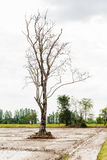 Dead tree in paddy fields Royalty Free Stock Images