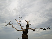 Dead tree. With peeling bark and broken branches. Background of grey and leaden sky Stock Photography
