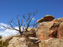 Dead tree. At Penitente Canyon Colorado Stock Images