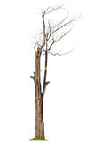 Dead tree in the rainforest of Thailand Royalty Free Stock Photos