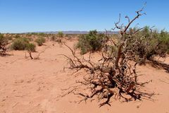 Dead tree in red sand desert Royalty Free Stock Photo
