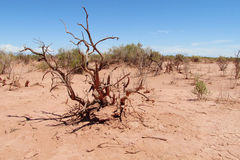 Dead tree in red sand desert Royalty Free Stock Photography