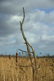 Dead tree in reedbed Stock Images
