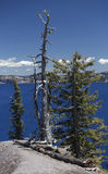 Dead Tree on the Rim of Crater Lake Royalty Free Stock Photography