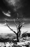 Dead tree at the rim of the Grand Canyon Royalty Free Stock Photo