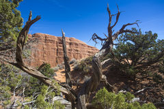 Dead tree and rock formation, Arches National Park Royalty Free Stock Photos