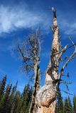 A dead tree in Rockies Royalty Free Stock Photo