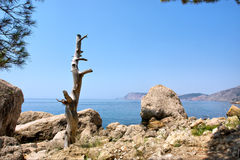 Dead tree on rocks next to sea Royalty Free Stock Photos