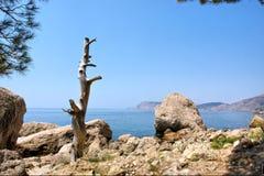 Dead tree on rocks next to sea Royalty Free Stock Photos