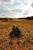 Dead tree root on dried field Royalty Free Stock Image