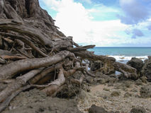 Dead tree roots on the beach in Niel Island Stock Photo