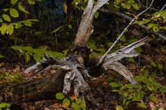 Dead tree roots royalty free stock photos