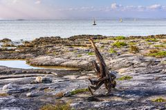Dead Tree roots watching the sea Stock Photo