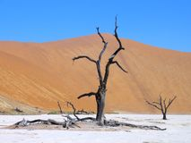 Dead tree in salt basin Stock Image