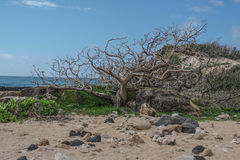 Dead Tree in the Sand Stock Image