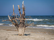 Dead tree on sand beach Stock Image