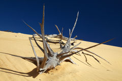 Dead tree in sand desert Stock Photos