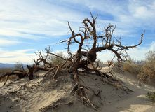 The dead tree on the sand dunes in Death Valley National Park royalty free stock photo