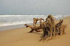 Dead tree on sandy beach. Closeup of dead tree with roots washed up on sand beach with sea in background Royalty Free Stock Image