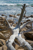 Dead tree at sea 2 Royalty Free Stock Images