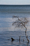 Dead tree in the sea Stock Photography