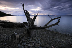Dead tree by the sea Royalty Free Stock Photo