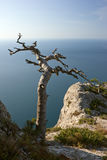 Dead tree on sea coast Stock Image