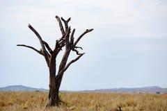 Dead tree in Serengeti Stock Photo